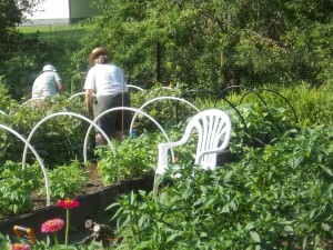 Manna meal garden, volunteers harvest peas